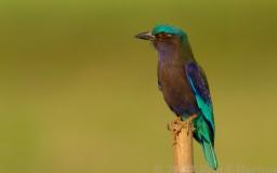 Birds of Asia 2013