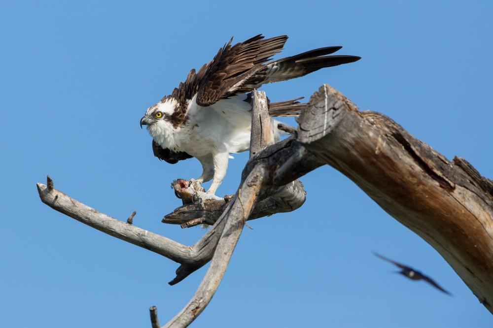 Osprey Ducking